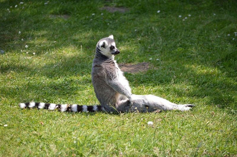 lemur in grass photo
