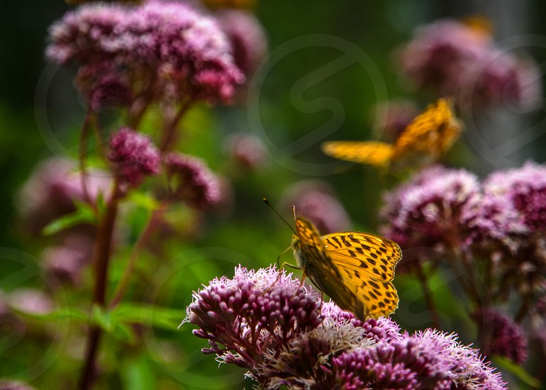 Butterflies on flowers photo