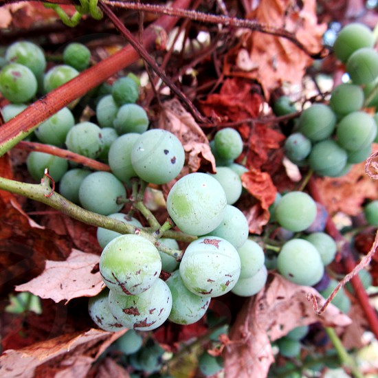 Green grapes on brown vine photo
