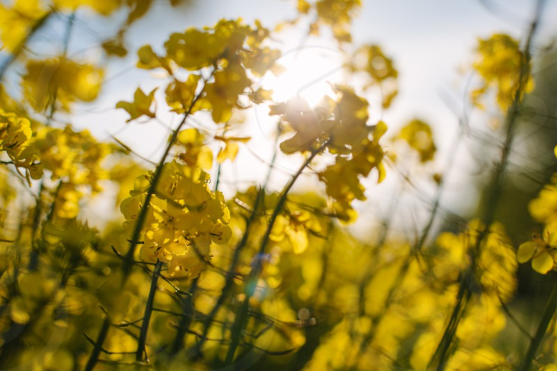 Close up of oilseed rape in a field in England UK in late spring/early summer. photo