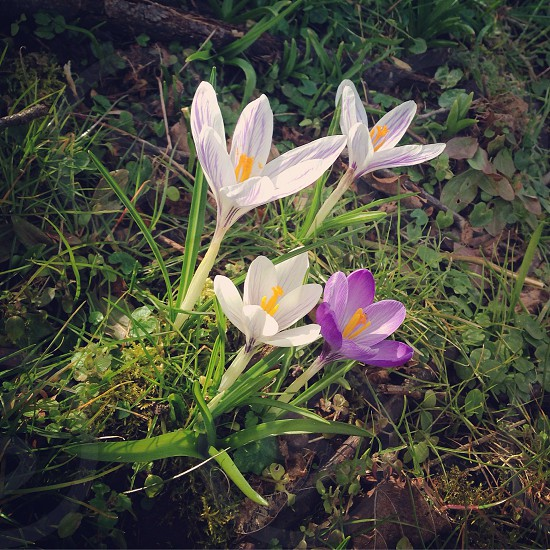 Spring is coming ! Crocus  photo