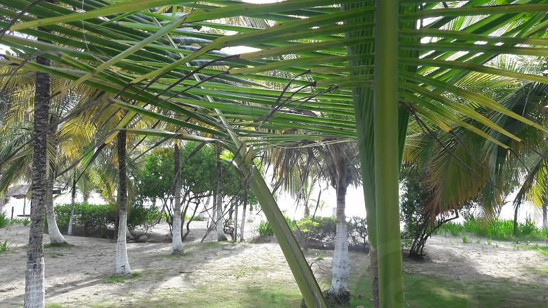 Palmas del tropico photo