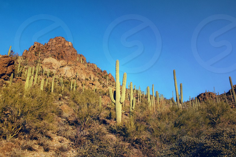 Saguaro Cactus Forest Cactus Mountain Peak Golden Hour shadow desert dry lonely desolate spiky arizona saguaro Tuscon    photo