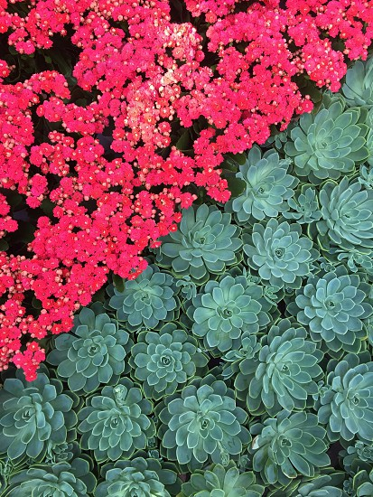 Botanical garden bloom succulent flowers petals pink green geometric  photo