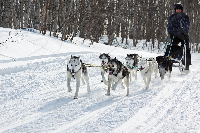 KAMCHATKA REGION RUSSIAN FEDERATION - FEBRUARY 5 2012: Male musher drives dog sledding (dog sled) on snowy road in winter forest on Kamchatka Peninsula (Far East Russia). photo