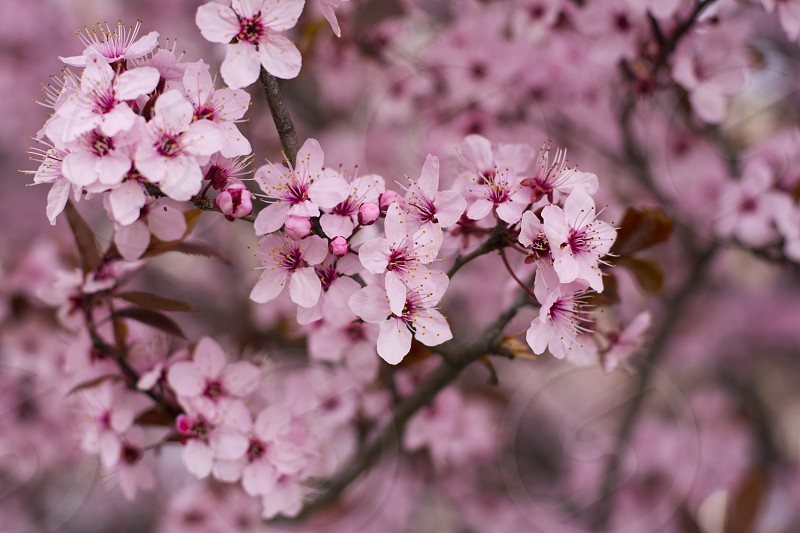 Wild cherry tree in spring blossom full with tiny pink flowers photo