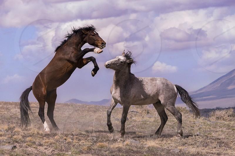Wild horses sparring in the West Desert in Utah photo