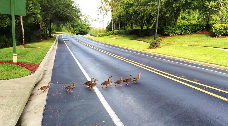 Ducks in a row photo