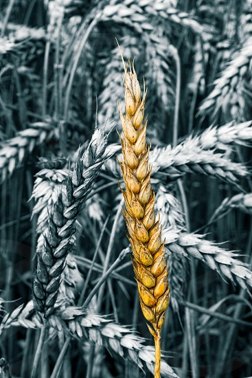 Exposed yellow wheat sheaf in black and white wheat field background  photo