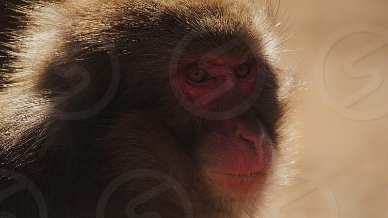 Snow Monkey // Kyoto Foothills  photo