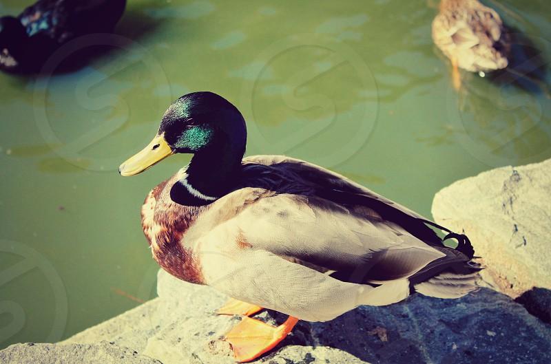 Green feathers park pond spring mallard duck  bird nature photo