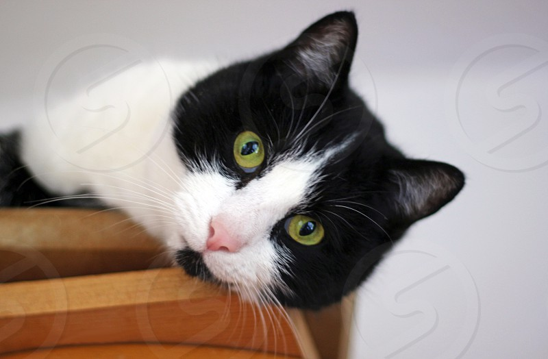 cute black and white cat with green eyes lying on wood planks looking down from above photo