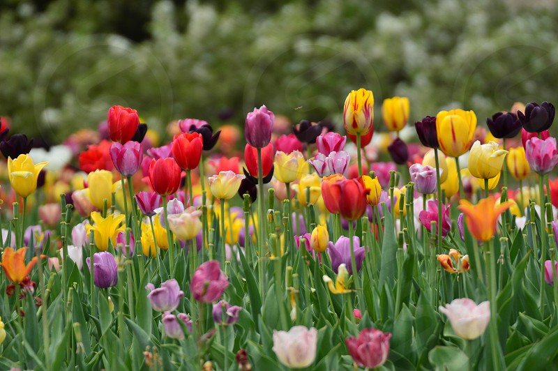 coloful colors tulips flowers spring beauty photo