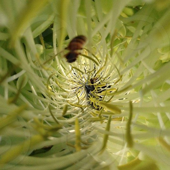 Bee in agave flower photo