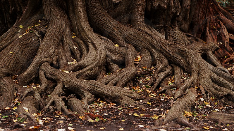 roots tangled complex autumn fall earthy soil mud dark nature forest plants tree old life vitality mystical brown  photo