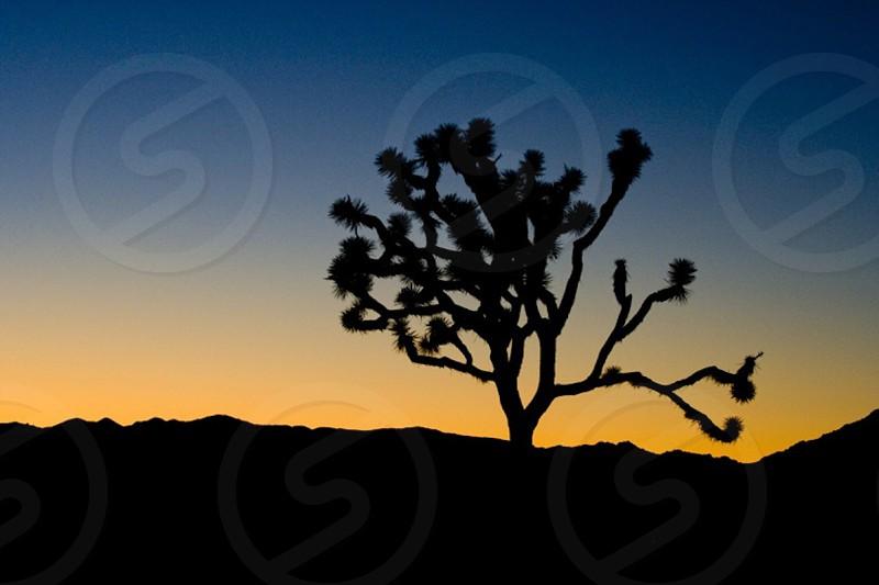 Joshua tree nature photo