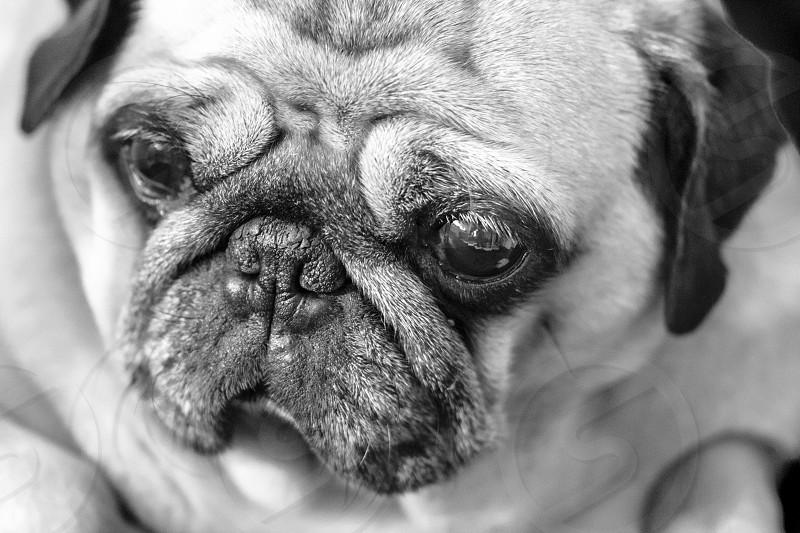 face of a beatifull pug photo