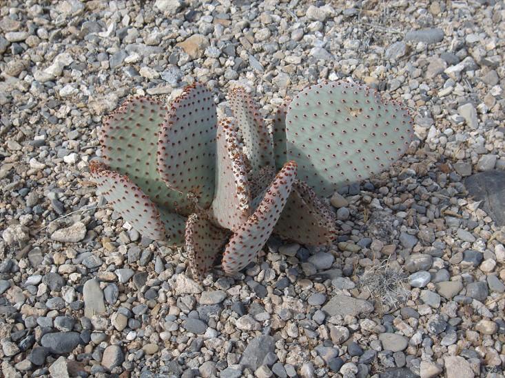 Cactus growing in desert with stones photo