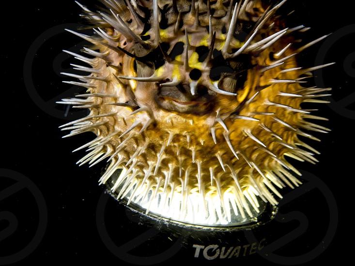 Pufferfish photo