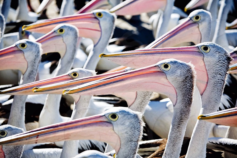 Pelicans all waiting expectantly. photo