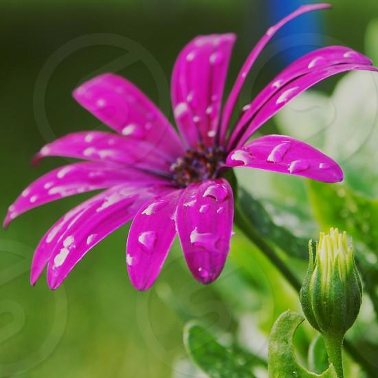 violet daisy photo