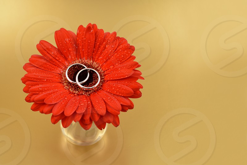 Wedding rings with a flower. Wedding rings on a golden background. Red gerbera with engagement rings. Red gerbera on a golden background photo