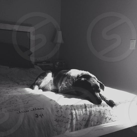 black and white photo of dog lying on bed photo