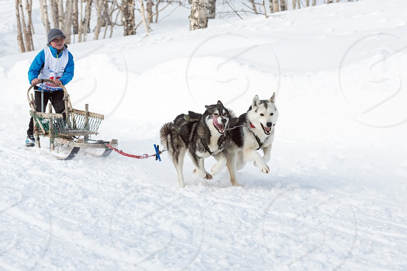 PETROPAVLOVSK-KAMCHATSKY KAMCHATKA RUSSIA - MARCH 2 2014: Kamchatka Kids Dog Sledge Race Dulin Beringia. Young boy musher with his sled dog runs at a distance of 3 kilometers in the woods. photo