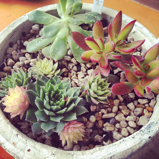 green and purple succulent plant photo