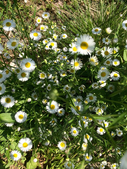 ヒメジョオン(Annual fleabane) photo