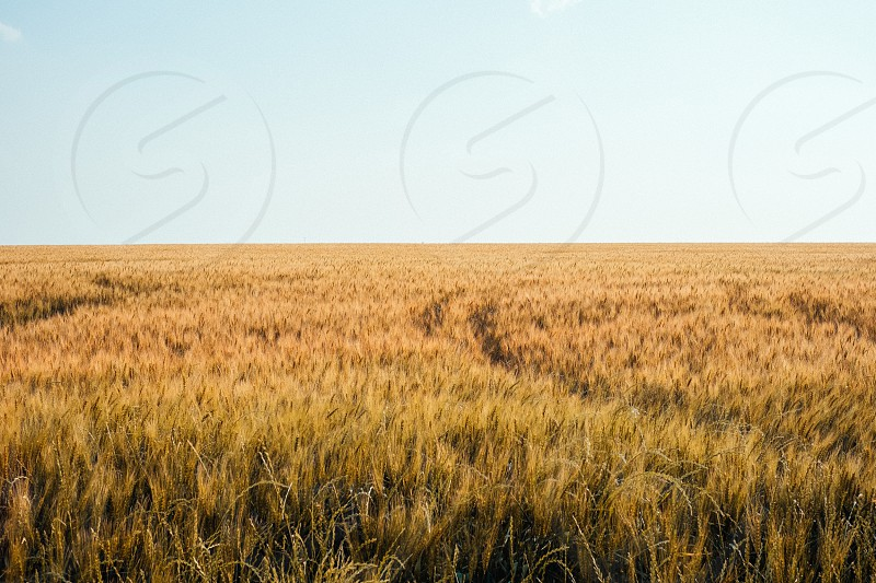 Wheat field. photo