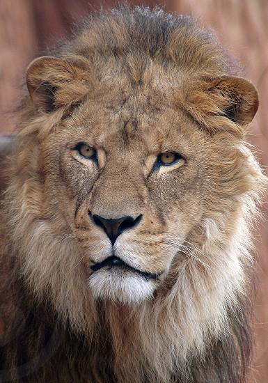 brown lion photo