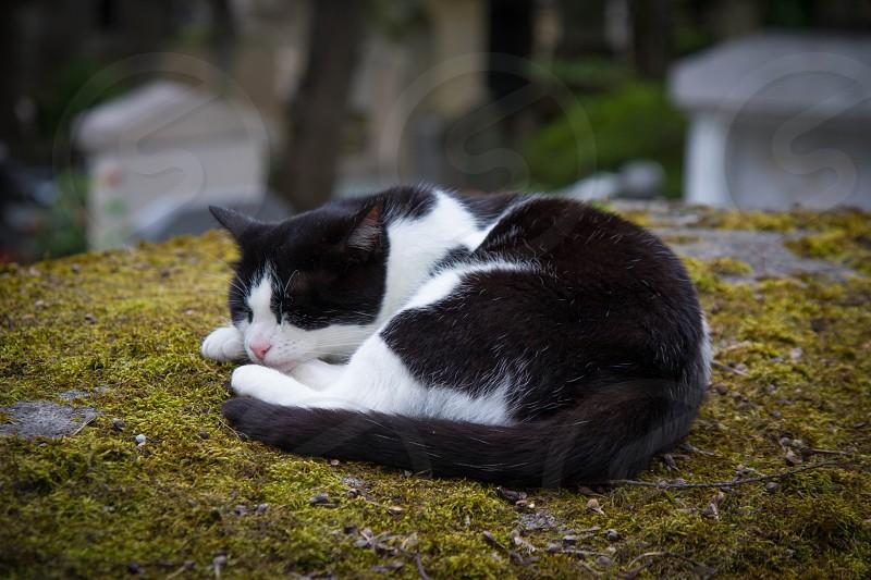 sleeping cat cemetery paris france pere lachaise  photo