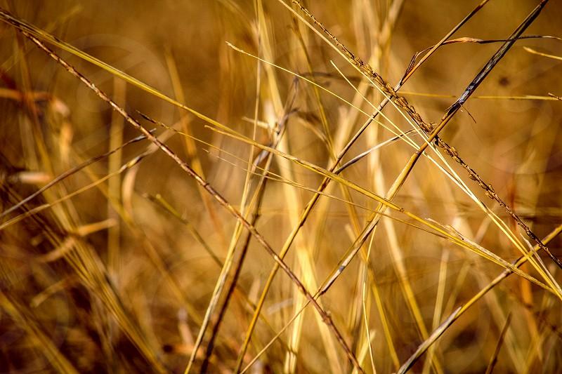 Grains. wheat plants warm bokeh nature farm beauty photo