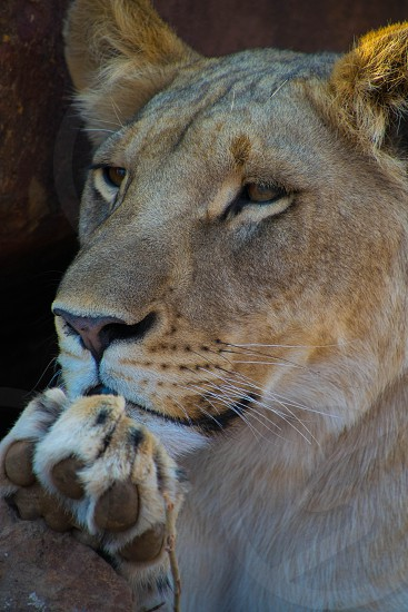 Lion in Africa photo