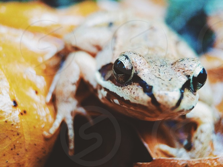 Brown and Black Striped Frog photo