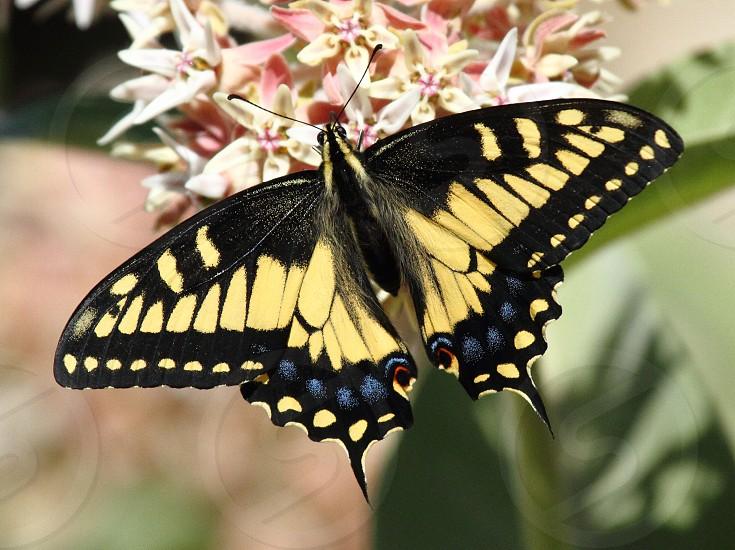 Anise swallowtail butterfly on milkweed photo
