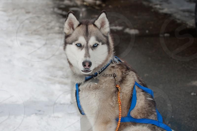 Alaskan husky wearing harness for dogsled race. photo