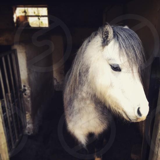 Grey pony photo