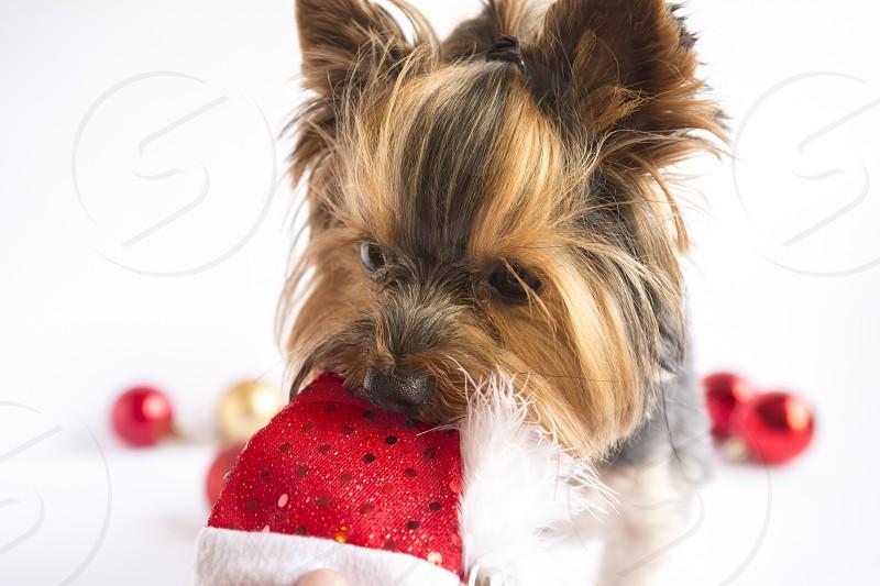 Christmas Xmas new year puppy dog festive hat photo