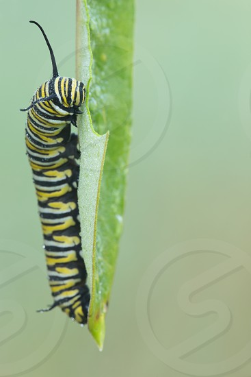 A striped caterpillar on a milkweed leaf photo