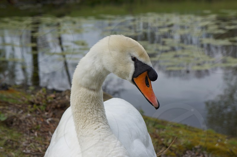 Swan close up on the edge of a pond photo