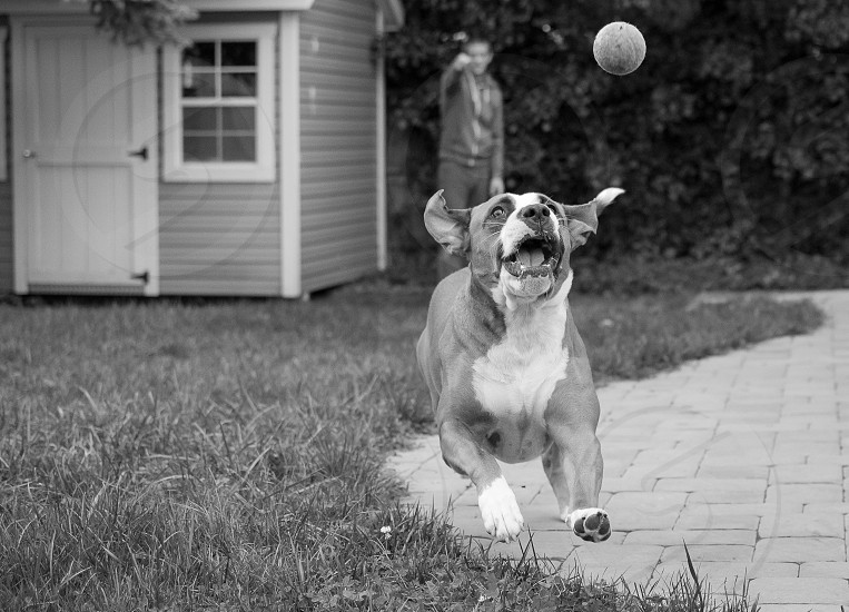 Dog tennisball catch fetch  photo