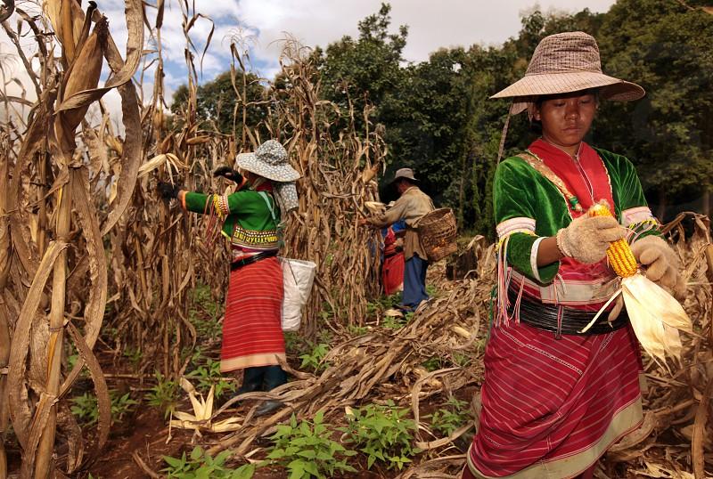 Traditionell gekleidete Frau von einem Stamm der Dara-Ang bei ernten von Maiskolben in einem Maisfeld beim Dof Chiang Dao noerdlich von Chiang Mai im Norden von Thailand.   photo