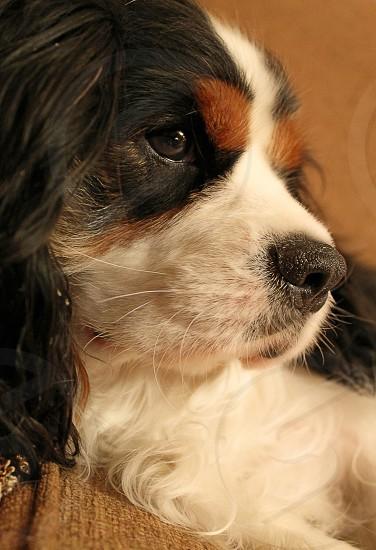 Cavalier King Charles Spaniel tricolor dog portrait  photo