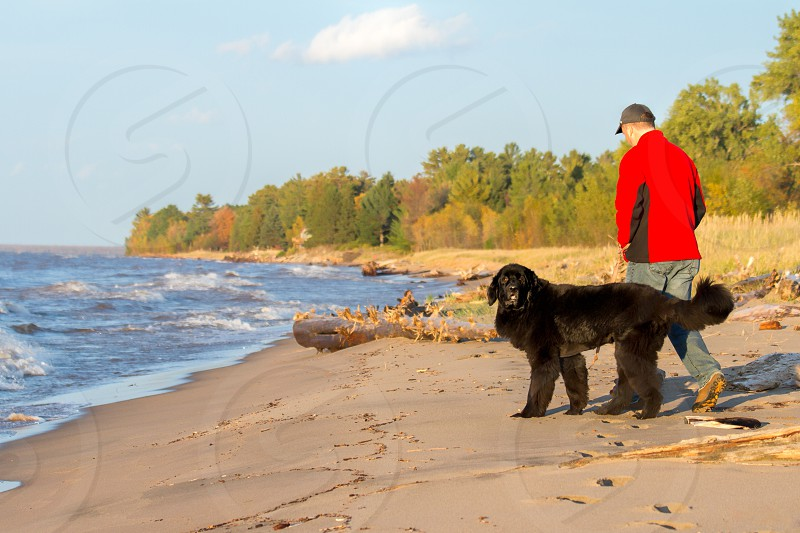 A newfoundland dog walking her owner on the beach.  Dog and owner model released photo