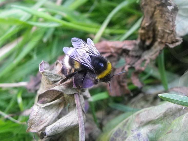 Buzzy bee macro uk photo