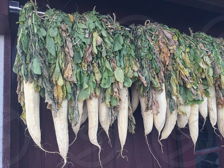 daikon hanged on white net photo