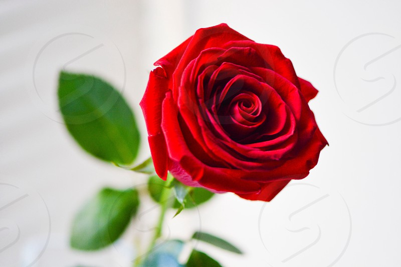 red rose with leaves in macro photography photo