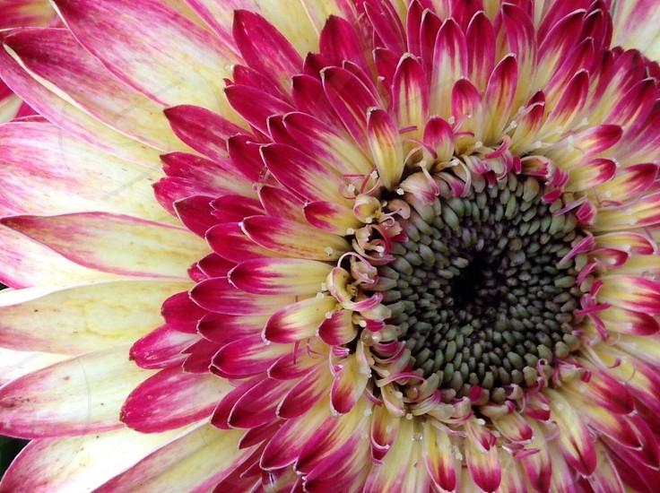 Flower pink macro daisy photo